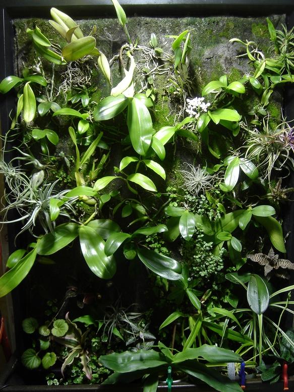 Mur V G Tal Orchid E Phalaenopsis